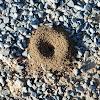 Lasius Ant mound