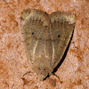 Variable sallow