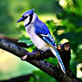 Blue Jays BIrd Sound Effects
