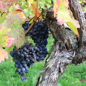 Gnarly Grape Vine with Grapes by Birgit Vorfelder - Nature Up Close Gardens & Produce ( colorful, autumn, grapes, vine, fall, autumn colors, leaves, grape vine, , color, nature )