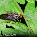 Wasp-mimic cockroach