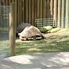 Tartaruga-gigante-de-aldabra