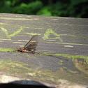 Olive-winged Drake Mayfly