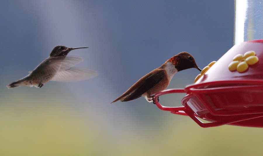 Waiting in the Wings by Kansas Allen - Animals Birds ( bird, red, nature, wings, food, hummingbird )