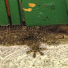 Crocodile gecko
