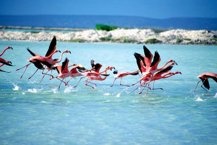 Flamingos on Bonaire.