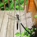 Slaty skimmer dragonfly?