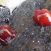 Waratah sea anemone