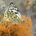 Butterfly on Lichen