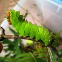 Polyphemus Moth Larva