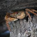 Krabbe / Crab