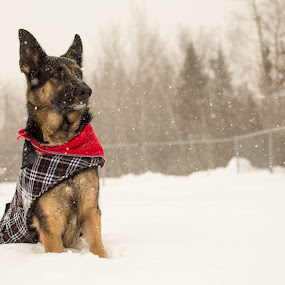 Majestic by Mikahla Dorey - Animals - Dogs Portraits ( snow, dog, german shepherd )