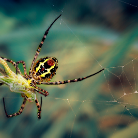 The Catch by Marcelino Moningka - Animals Insects & Spiders ( macro, spider, natural )