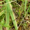 Blue Marsh Skimmer mating