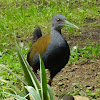 Slaty-breasted Wood-Rail, Saracura-do-mato (Brazil)