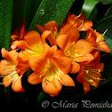 Bush lily