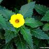Yellow alder