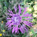 Brown knapweed