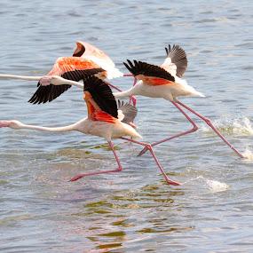 Runaway by Ailsa Burns - Animals Birds ( flight, wings, flamingo, birds, photography )