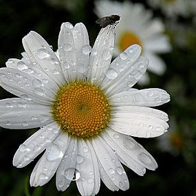 Daisy by Ana France - Flowers Flowers in the Wild ( 2014 -05-17 prilesje-vrtnice )