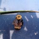 Hunts Bumble Bee