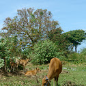 Domesticated Wild Cattle
