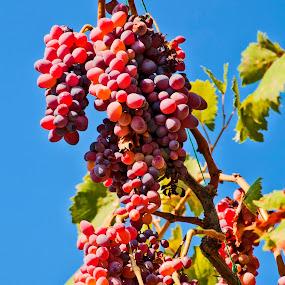 grapes by Ahmet Güler - Food & Drink Fruits & Vegetables ( red grapes ripe sweet autumn, blue, orange. color )