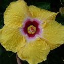 Ibiskus Flower