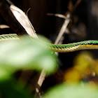 Green-headed tree snake
