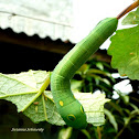 Vine hawk moth caterpillar