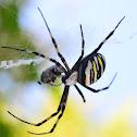 Wasp Spider - Argiope