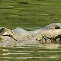 Midland Smooth Softshell Turtle