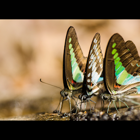 The Three Musketteers by Ajith Unnikrishnan - Animals Insects & Spiders ( mud puddling, butterfly, nature, commonjay, insect, bluebottle )