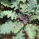 Dinosaur Kale, Tuscan Kale