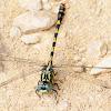 Large Pincertail; Libélula Cernícalo
