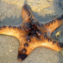 Knobbly sea star