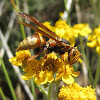 Paper wasp (female)