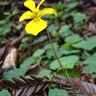 Redwood Violet