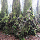 Antarctic Beech (2500 - 3000 yrs old)