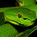 Chinese Green Tree Pit Viper