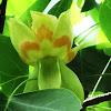 Tulip Tree (Yellow Poplar)