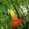 Orange Angel's Trumpet