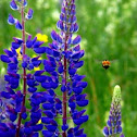 Bumble Bee & Lupines