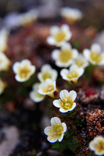 Svalbard-wildflowers - Spend time exploring fauna and flora on the Svalbard islands with Hurtigruten's Fram.