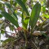 Bulbophyllum forestii