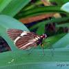 Ruby eye butterfly