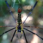 Golden Silk Orb-weaver Spider