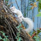 white eastern gray squirrel