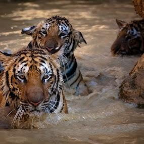 KanchanaburiThe Tiger Temple, Wat Pha Luang Ta Bua_20090223_10.4 by . Reedd2 - Animals Lions, Tigers & Big Cats ( water, the tiger temple, wild animals, tiger temple, wat pha luang ta bua, thailand, tigers, indonesian tigers, saiyok, kanchanaburi,  )