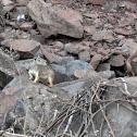 Preá (brazilian guinea pig)